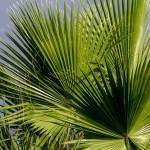 Palmen Palmenwedel Palmenblätter