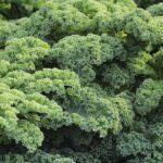 Grünkohl Grün Bäume